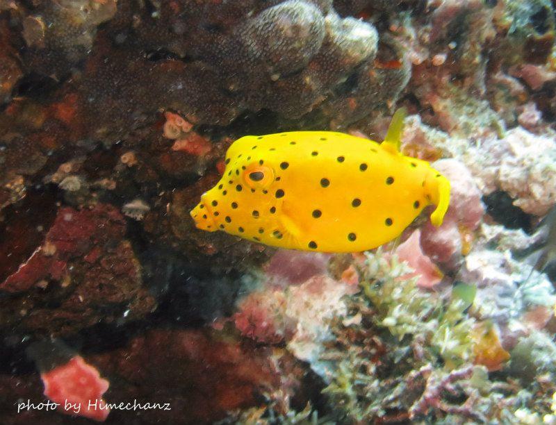 かなり大きめのミナミハコフグの幼魚ちゃん photo by CANON PowerShot S100