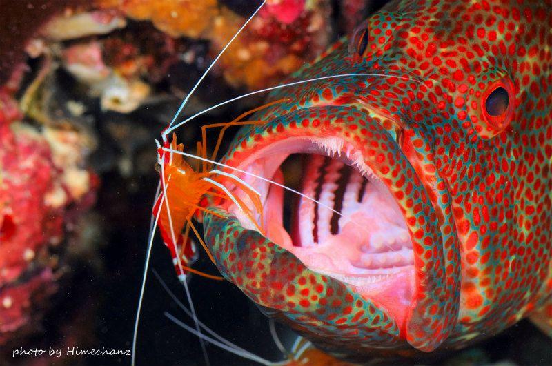 水中にいる歯医者さんw 歯を診てもらってるアザハタの顔がなんとも言えず面白いですねw 歯医者さんはアカシマシラヒゲエビですw photo by Nikon D300