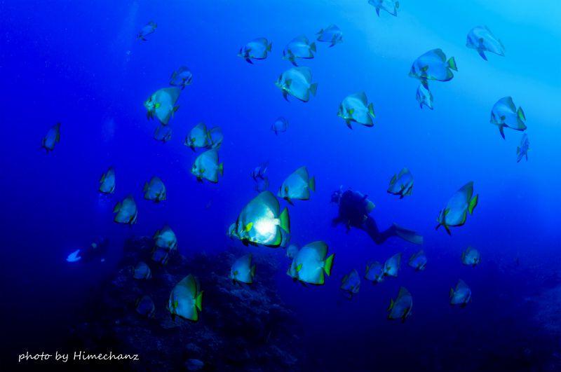 圧巻のアカククリの群れ! 50~100匹ほどのアカククリが群れているポイントが名蔵湾にあります。いつ行っても見応えたっぷりです♪ photo by Nikon D300