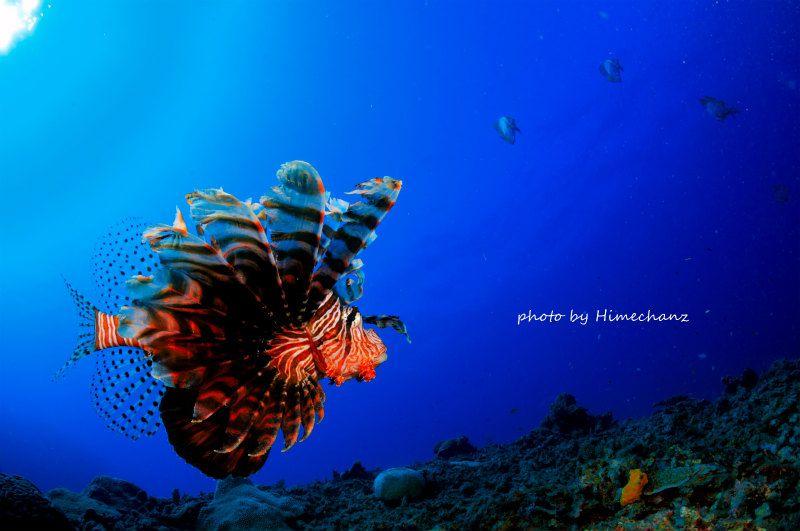 ハナミノカサゴの散歩♪ 個性的なヒレ全開のハナミノカサゴw優雅に泳ぐ姿がいいですよね♪ photo by Nikon D300