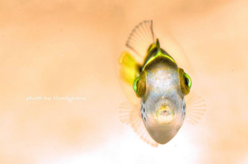 正面顔が可愛いシマキンチャクフグの幼魚w 魚の正面顔って、本当に可愛いですよねw 幼魚は特に体の大きさに対して目がデカイからより可愛く感じます♪ photo by Nikon D300