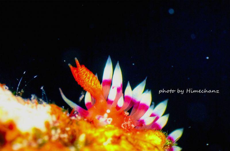 ド派手なアデヤカミノウミウシ! ウミウシ界の中でもかなり美しいと個人的に大好きなアデヤカミノウミウシ。見つけるとテンションアゲアゲですねw photo by Nikon D300