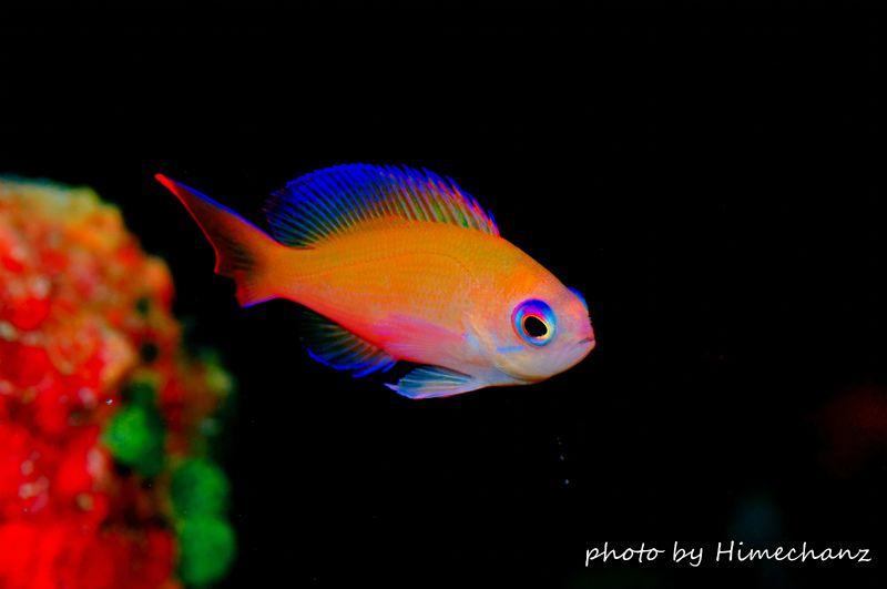 美しいケラマハナダイのメス 色のグラデーションがとってもキレイなケラマハナダイのメスです。 photo by Nikon D300
