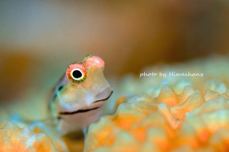 半分開いた口がたまらなく可愛いイシガキカエルウオw 左右の目をキョロキョロしながらも、いつも半分口が開いてる様子が本当に可愛いイシガキカエルウオちゃん♪ photo by Nikon D300