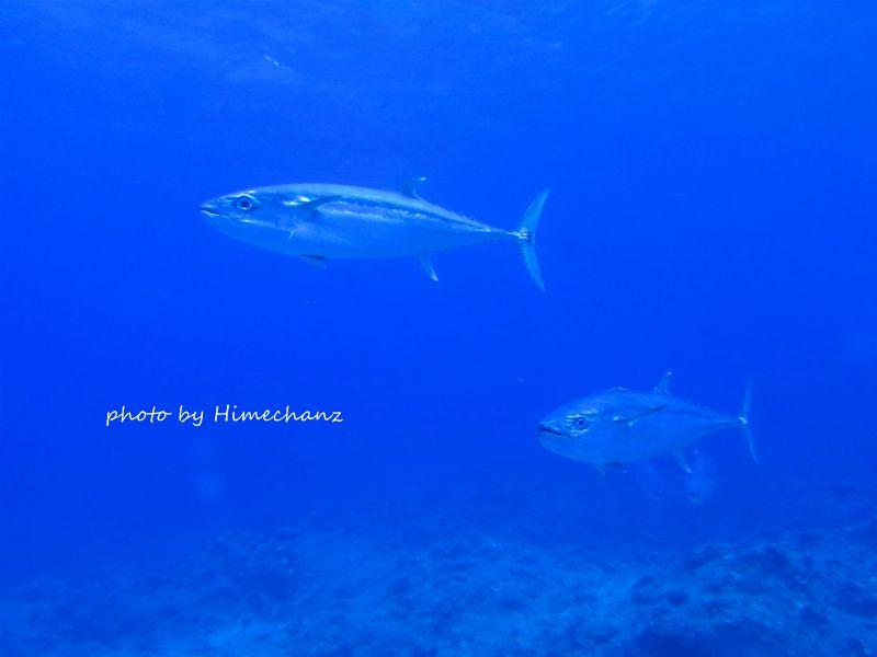 巨大イソマグロ艦隊♪ 潮の流れが強いポイントでは、イソマグロの群れを見ることができます♪ 迫力満載です!!! photo by CANON PowerShot S100