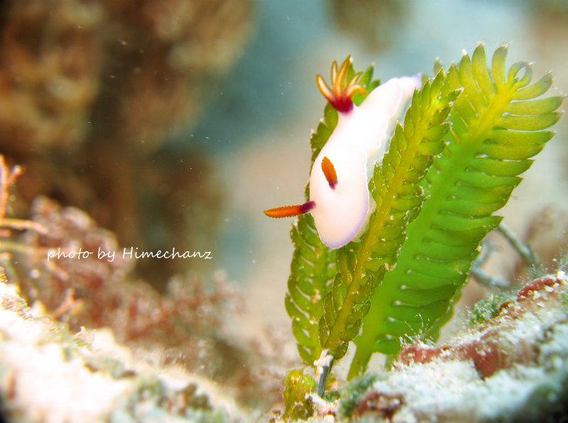迷子?ゾウゲイロウミウシ ♪ 若々しい海草の緑に映える真っ白なゾウゲイロウミウシ。ウミウシは海の宝石と言われるだけあり、とってもキレイですね♪石垣島では春がウミウシのトップシーズンです♪ photo by CANON PowerShot S100