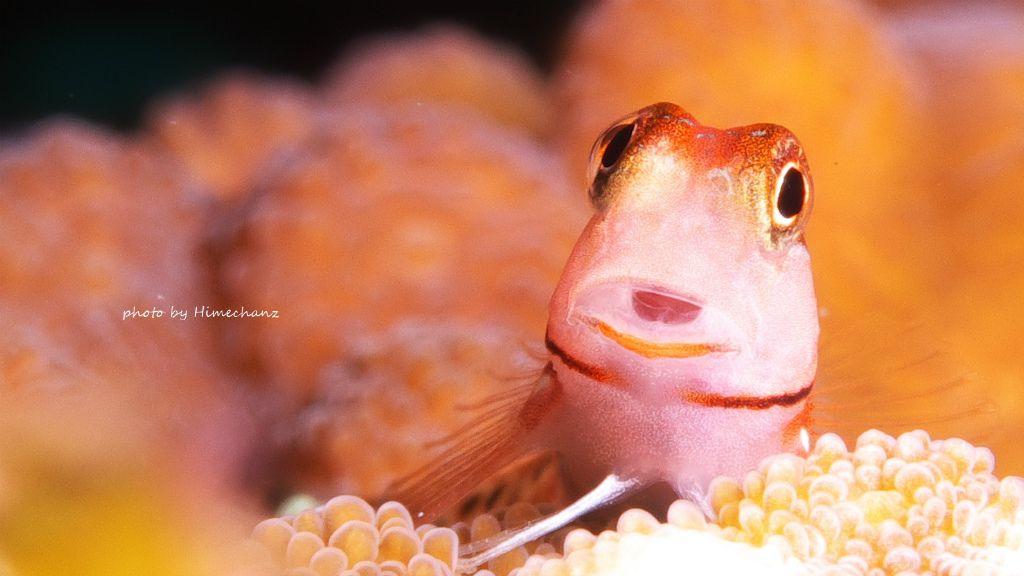 違いがわかりますか!?ゴイシギンポ幼魚ですw