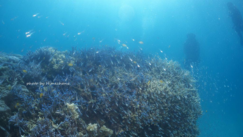青いサンゴ礁♪ キンメモドキたちは漁師さんにとられちゃったかな。。。