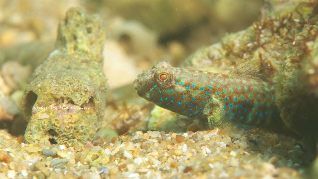 タカノハハゼ幼魚